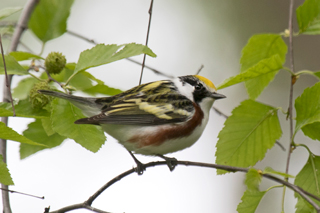 Chestnut-sided Warbler - Photo by Phil Swanson