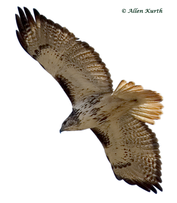Red-tailed Hawk by Allen Kurth