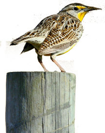 Western Meadowlark photo by Paul Johnsgard